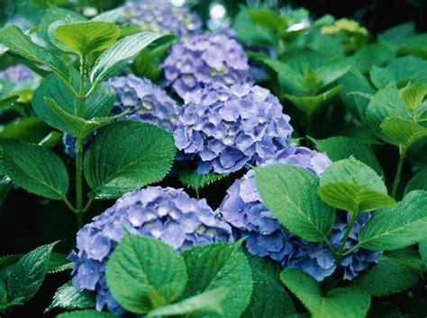 hydrangeas zone 10 ehow
