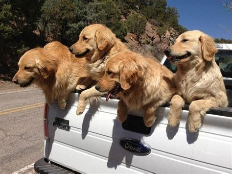 Does A Golden Retriever Shed A Lot by 303 Best Images About Dogs Puppies On
