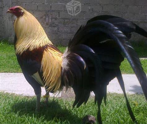gallos de pelea gallos de combate puros jumper youtube gallos giros hatch gallos combate asil hatch clasf