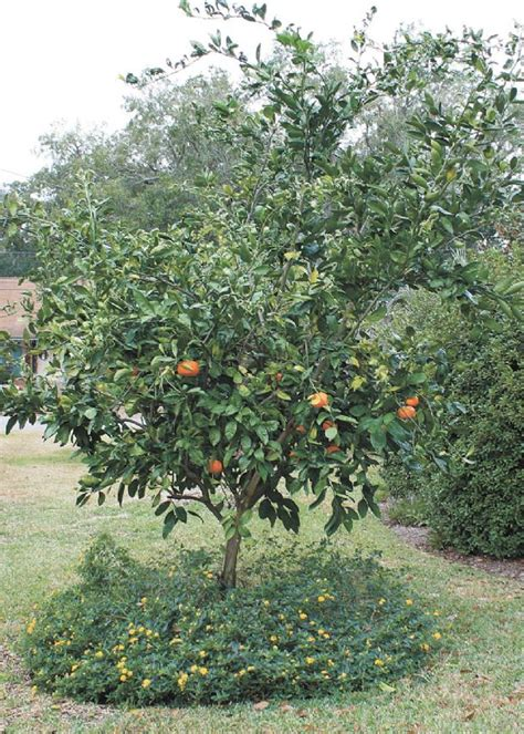 Southern Gardens Citrus by Southern Gardening Mississippi Gardens Can Produce Fresh