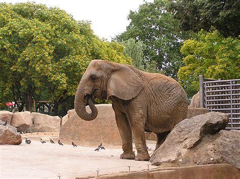 barcelona zoo animals african elephant loxodonta africana
