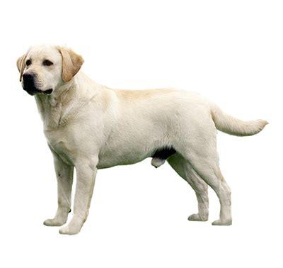 purina golden retriever labrador retriever chien de race purina