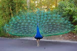 peacock blue my dear trash peacock blue or peacock green