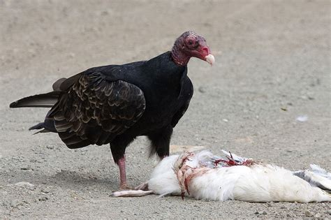 funny turkey vulture funny animal