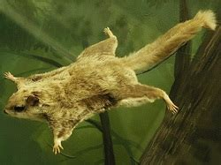 scogliattolo volante structural adaptions flying squirrel