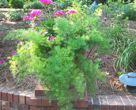 asparagus container gardening geraniums and asparagus fern do well together in a