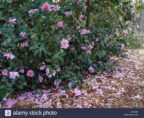 camellia flowering shrub camellia showgirl winter flowering evergreen shrub