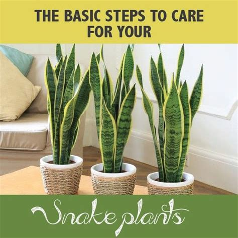 the 25 best ideas about snake plant on pinterest mother s tongue plant indoor plants low