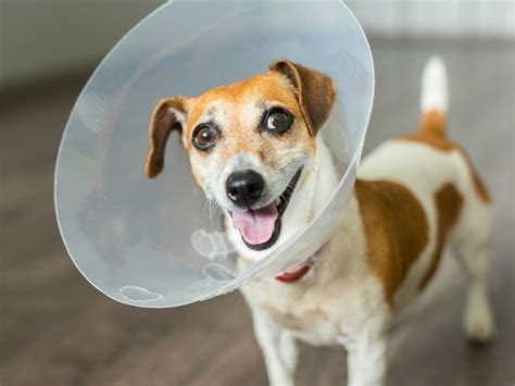 cones for dogs cone of shame alternatives petmd