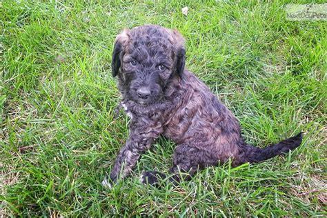 goldendoodle puppy denver goldendoodle puppy for sale near denver colorado