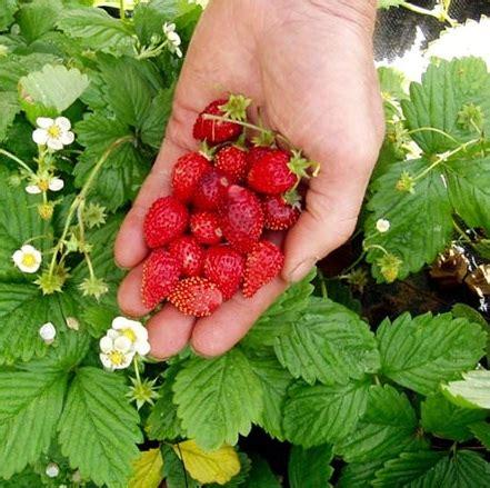 Jual Bibit Strawberry Putih bibit benih alpine strawberry jual tanaman hias