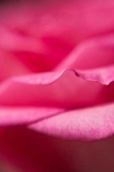 New Rosita Magenta black roses roses and black on
