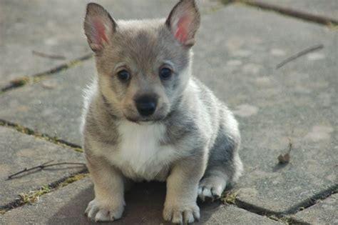 swedish vallhund puppies 1000 images about swedish vallhunds on wolf corgi corgis and puppys