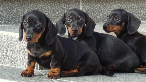 Dash Brown black brown dachshund puppies dash