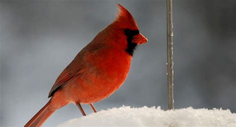 backyard winter bird survey nh audubon