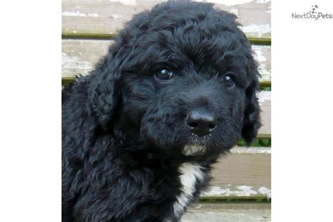 water puppies for sale puppy web puppies for sale dogs for sale breeders 2017 2018 best cars reviews