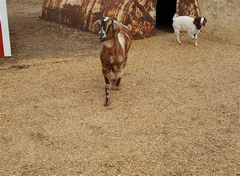 goat bedding goat bedding animal bedding hemp horse image curtousey of