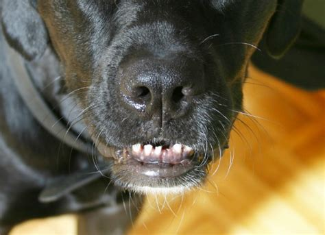 puppy tooth loss tooth dislocation or sudden loss in dogs petmd