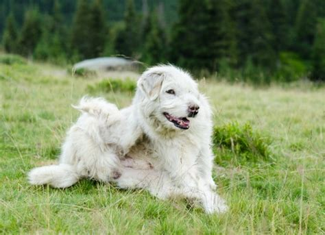 pruritus in dogs itchiness desire to scratch chew or causing inflamed skin in dogs petmd