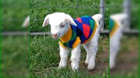 Loving baby goats in sweaters
