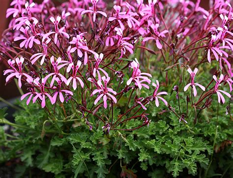 Plants With Red Foliage - pelargonium ionidiflorum buy online at annie s annuals