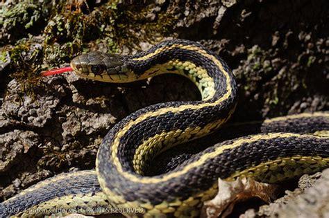 Garden Snake Ontario Of The Season Flickr Photo