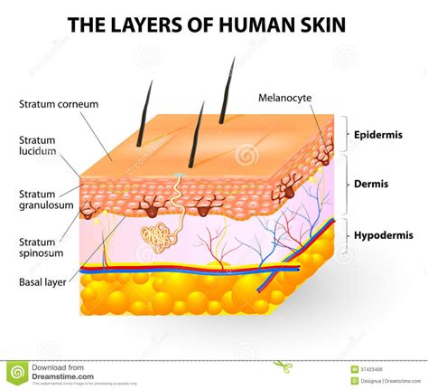 diagram of skin cell skin layers anatomy human anatomy diagram
