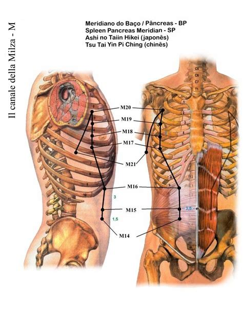 organi interni corpo umano lato destro sa 250 de meridianos padr 227 o ba 231 o p 226 ncreas