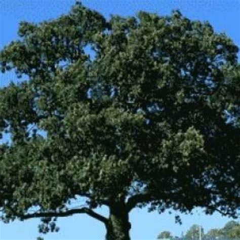 fiori di bach oak i sette aiutanti di bach oak fiori di bach