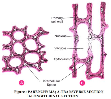 parenchyma tissue diagram what are the types of plant tissues and their functions