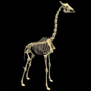 Halloween Skeletons Giraffe Skeleton Animal Skeletons Models