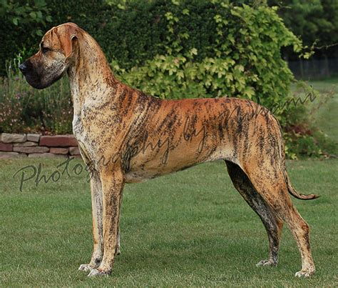 what color is brindle brindle great dane explore nikami s photos on flickr