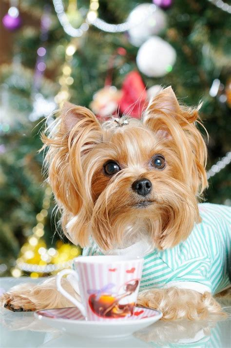 looking for a yorkie looking for yorkie pics click here gt gt www fundogpics yorkie pics html