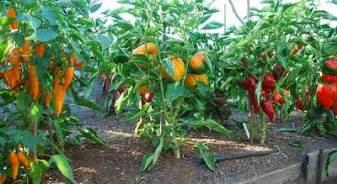 Vegetable Garden Tips Productive Vegetable Gardening Tips For Beginners