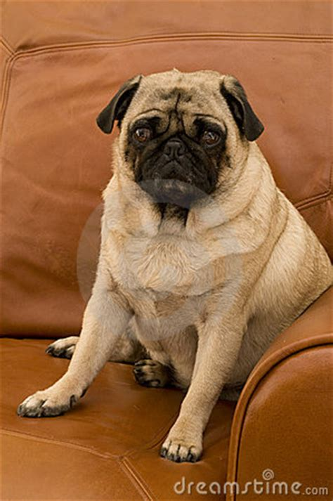 pug on couch cute pug on couch stock image image 7279871