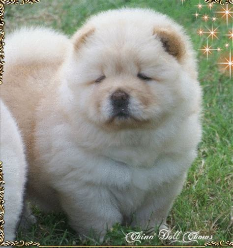 china doll chows chinadoll chows past puppy litters akc chion bloodline