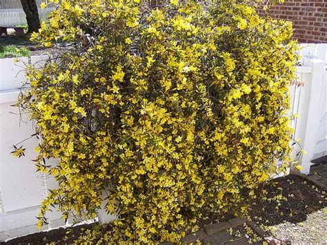 gelsemium sempervirens kiefer nursery trees shrubs