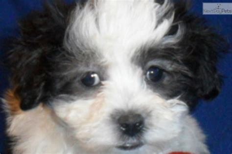 maltipoo puppies for sale ohio pin maltipoo puppies for sale in ohio on