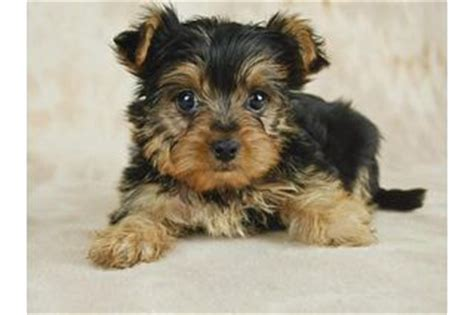 when do yorkies ears stand 17 best images about yorkies on puppys mini schnauzer puppies and yorkie