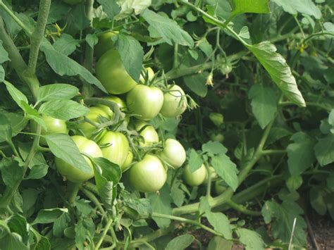 Tomato Plant Planning Tips For Growing The Best Tomatoes In An