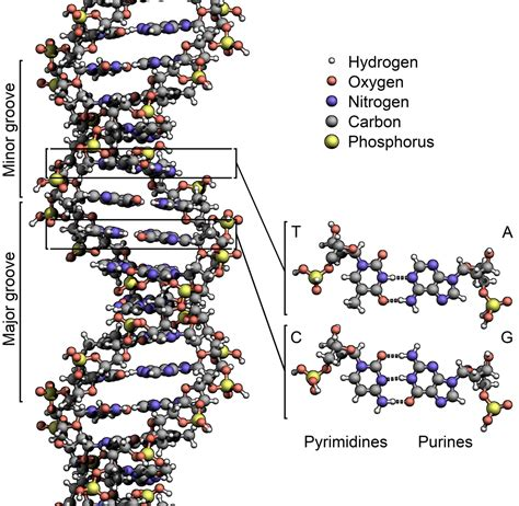 what is l stack dna wikipedia den frie encyklop 230 di