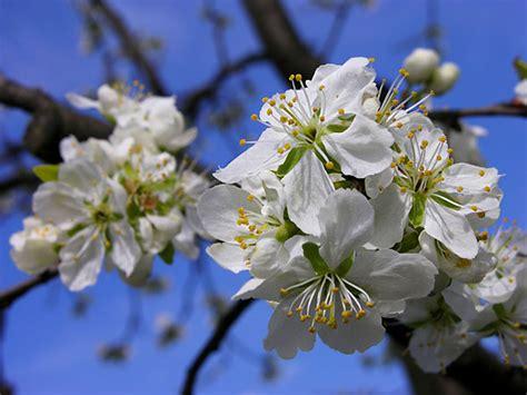 fiori alberi da frutto alberi da frutta in fiore alberi in fiore fotografie