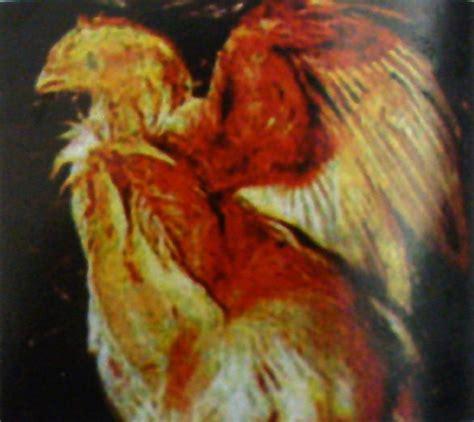 Ayam Aduan Pokphand toko pertanian peternakan dan perikanan virus penyebab