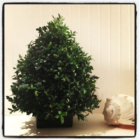 boxwood christmas tree boxwoods pinterest