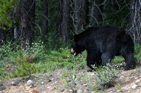 big black bear how to stay safe around black bears from someone who s