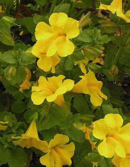 mimulus fiore di bach mimulus fiore di bach cosa 232 e a cosa serve mimulus dei