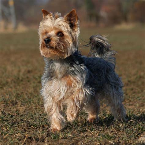 australian yorkie terrier or yorkie australian lover
