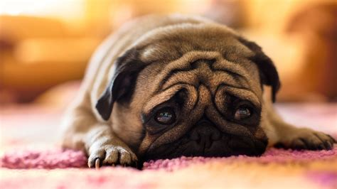 pug puppies hd wallpapers pug desktop hd wallpaper 15255 1920x1080 umad