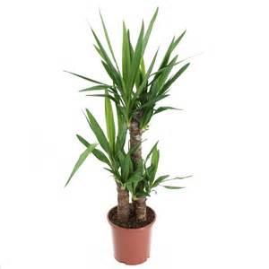yucca plante gd mod 232 le 3 cannes h 60 30 15cm pot