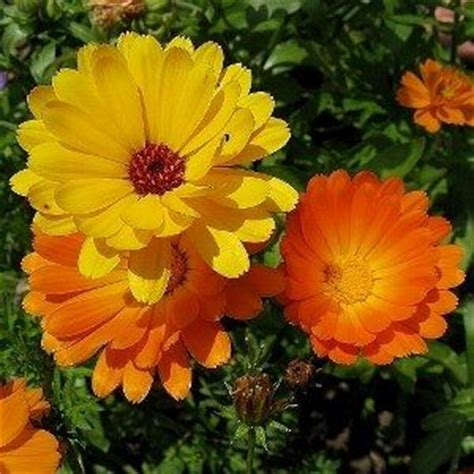 Calendula Cottage by 1000 Images About Plantes Sauvages Comestibles On
